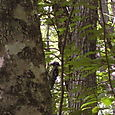 A woodpecker appropriately in the woods
